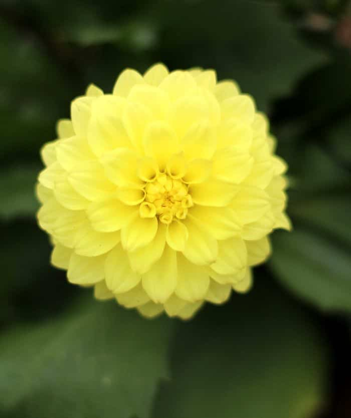 Gardening On A Budget - Yellow Dehlia